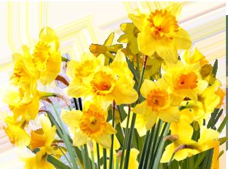 daffodils-png-file